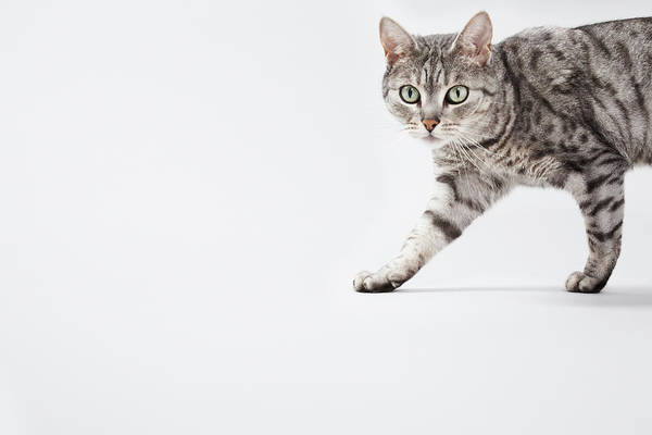 Concentration Photograph - Cat Walking by Lisa Stirling