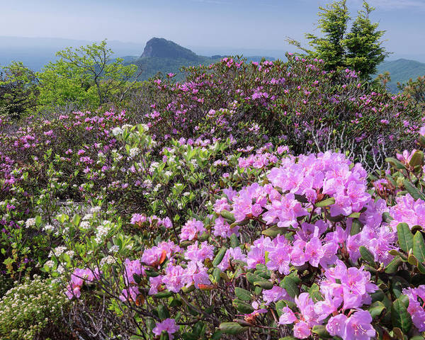 Wall Art - Photograph - Catawba Rhododendron Table Rock  by Mike Koenig