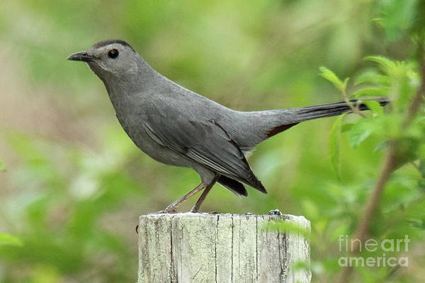 Photograph - Catbird by Michael D Miller