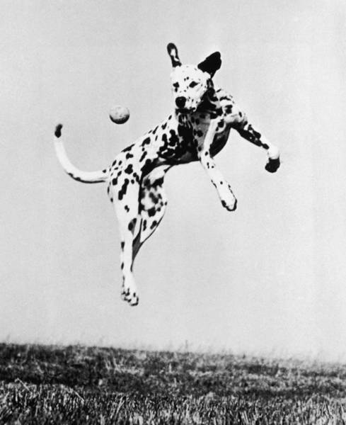 Dalmatian Photograph - Catch It Spotty by Three Lions