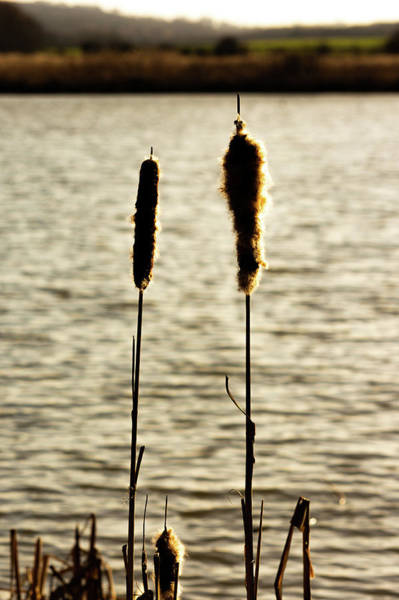 Cattails In The Sun Art Print