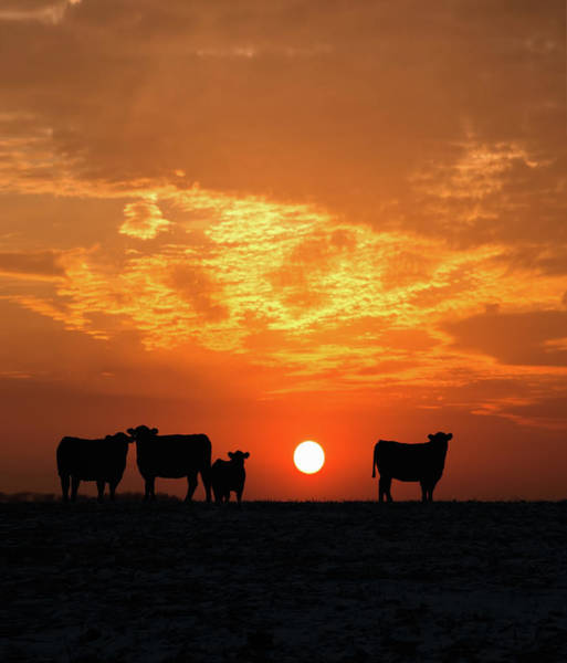 Nebraska Photograph - Cattle At Sunset by Jake Olson Studios Blair Nebraska