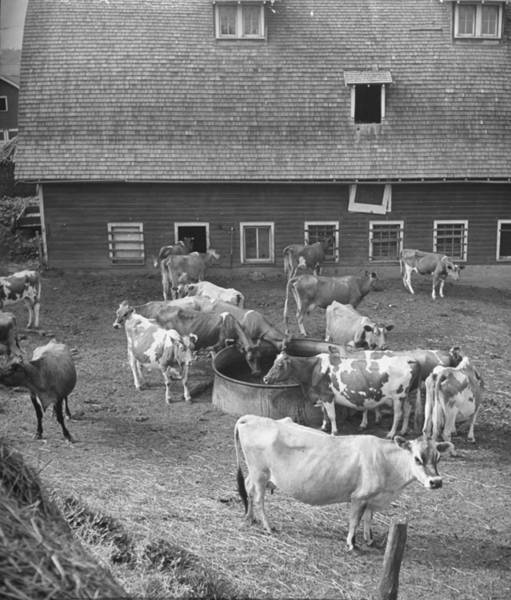 Wall Art - Photograph - Cattle Eating Slop From A Large Bowl In by Hansel Mieth