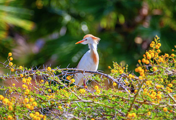 Photograph - Cattle Egret by Anthony Jones