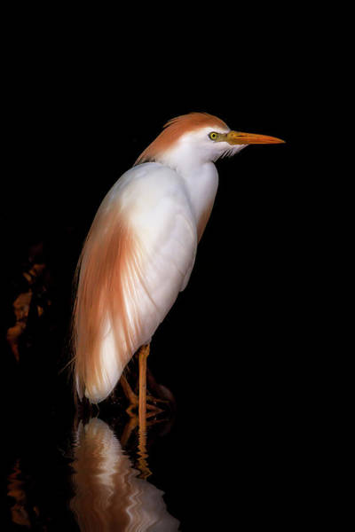 Photograph - Cattle Egret by Cyndy Doty
