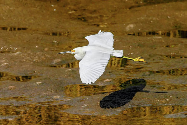 Photograph - Cattle Egret by Ronnie and Frances Howard