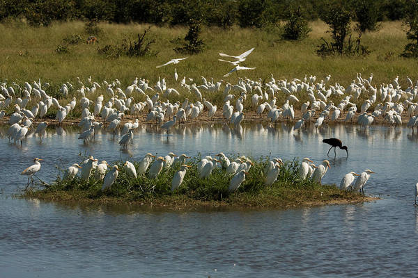 Wall Art - Photograph - Cattle Egrets With Glossy Ibis by David Hosking