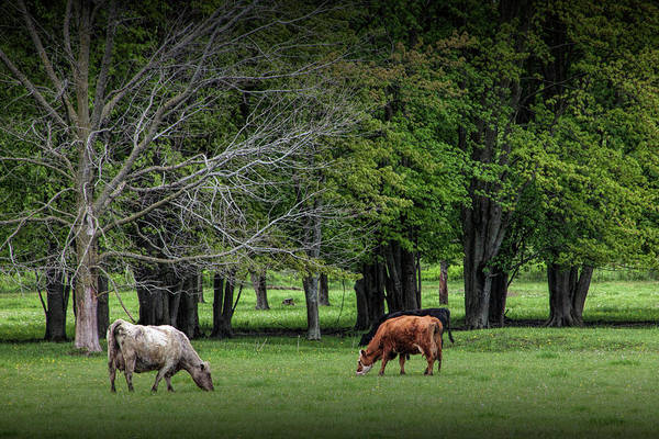 Wall Art - Photograph - Cattle Grazing In A Pasture by Randall Nyhof