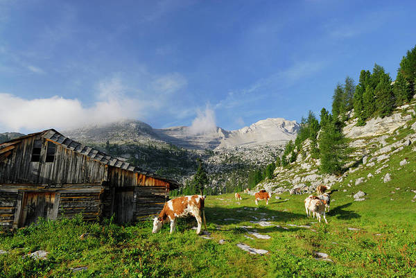 Chalet Photograph - Cattle Grazing Near Alpine Hut by Andreas Strauss / Look-foto