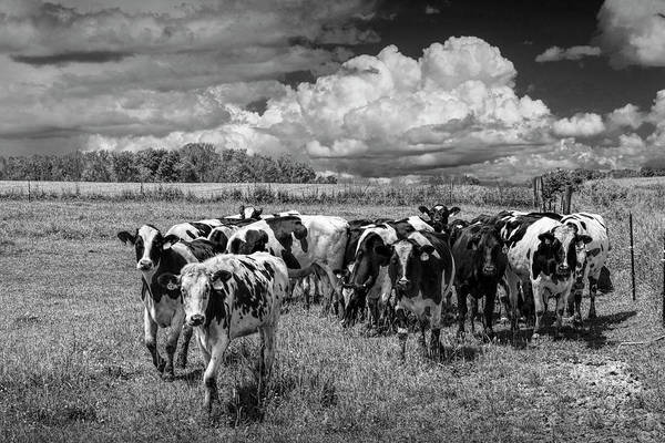 Wall Art - Photograph - Cattle In A Pasture In Black And White by Randall Nyhof