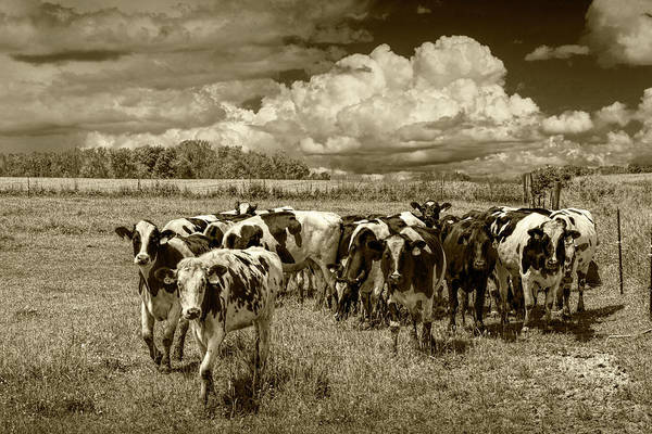 Wall Art - Photograph - Cattle In A Pasture In Sepia Tone by Randall Nyhof