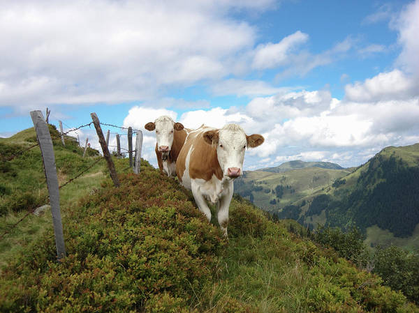 Domestic Cattle Photograph - Cattle In Mountains by Picturegarden