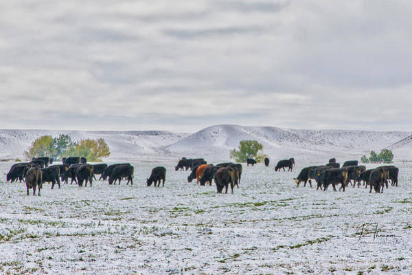 Photograph - Cattle In Snow by Jim Thompson