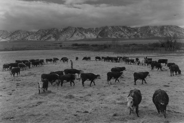 Photograph - Cattle In South Farm by Buyenlarge