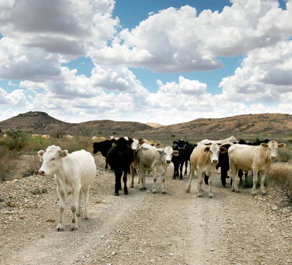 Ranch Photograph - Cattle On A West Texas Ranch, Usa by Danita Delimont