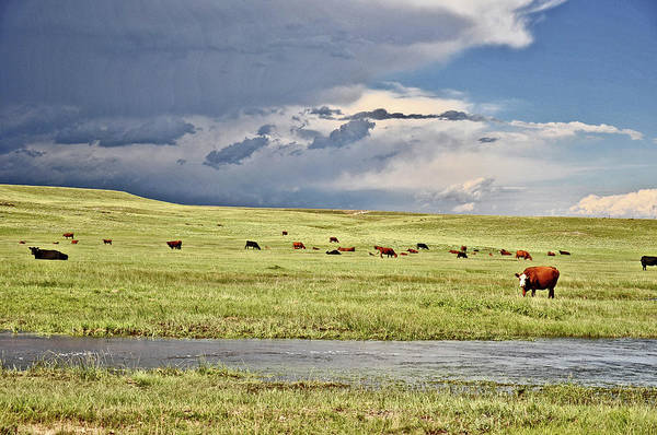 Photograph - Cattle On The Range by Chance Kafka