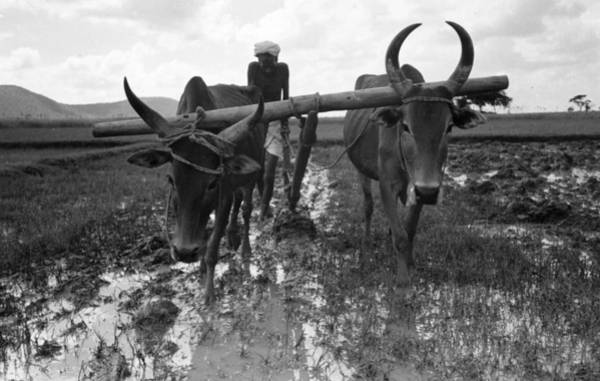 Pulling Photograph - Cattle Plough by Bert Hardy