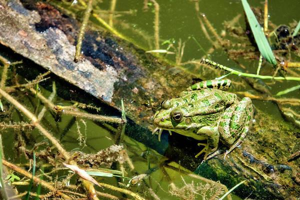 Photograph - Caucasian Parsley Frog by Fabrizio Troiani