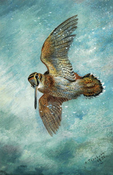 Wall Art - Painting - Caught In A Blizzard, Woodcock, 1932 by Archibald Thorburn