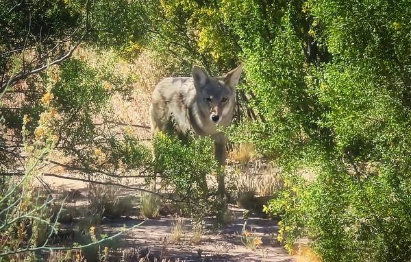Photograph - Cautious Coyote by Judy Kennedy