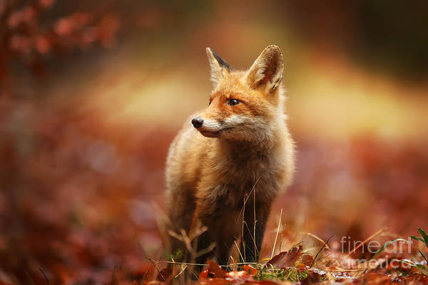 Alert Wall Art - Photograph - Cautious Fox Stopped At The Edge Of The by Michal Ninger