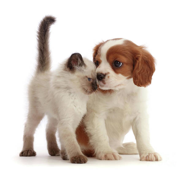 Photograph - Cavalier And Kitten Head-to-head by Warren Photographic
