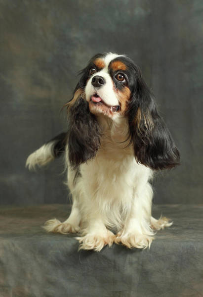 Look Away Photograph - Cavalier King Charles Spaniel by Sergey Ryumin
