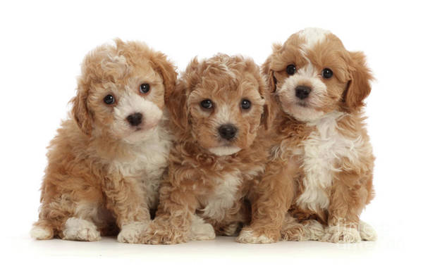 Photograph - Cavapoochon Puppy Trio by Warren Photographic