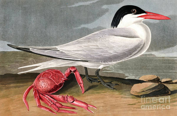 Painting - Cayenne Tern, Sterna Maxima By Audubon by John James Audubon