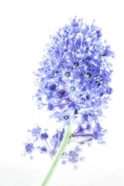 Wall Art - Photograph - Ceanothus by John Edwards