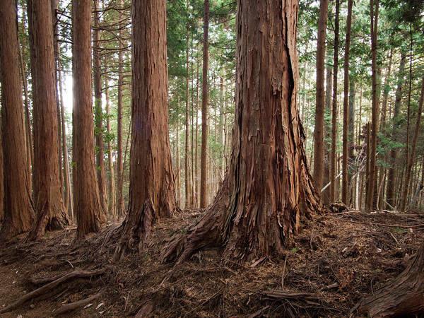 Cedar Tree Photograph - Cedar Grove by Www.aaronpaulson.com