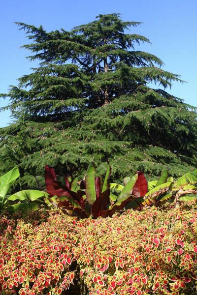 Photograph - Cedar Tree In Greenwich Gardens, London by Aidan Moran