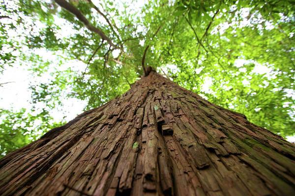 Cedar Tree Photograph - Cedar Tree by Noriyuki Araki