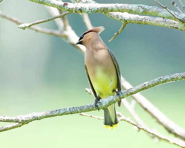 Photograph - Cedar Waxwing 1 by Lara Ellis