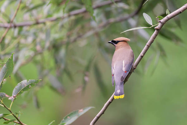 Wall Art - Photograph - Cedar Waxwing 2019-1 by Thomas Young