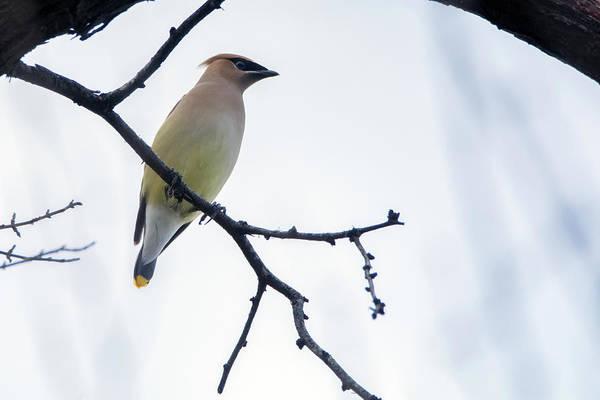 Photograph - Cedar Waxwing 3139-012919 by Tam Ryan