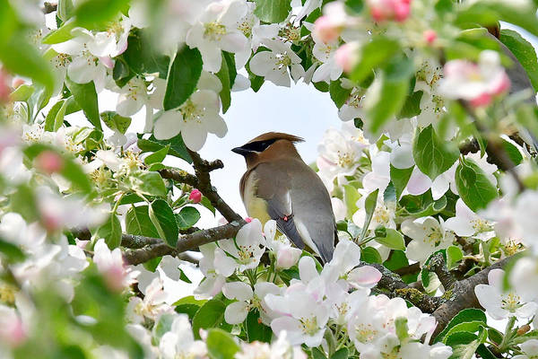 Wall Art - Photograph - Cedar Waxwing And Apple Blossoms 3421 by Michael Peychich