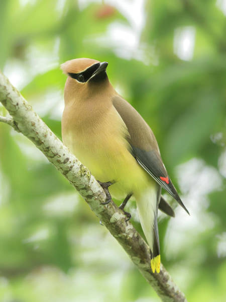 Wall Art - Photograph - Cedar Waxwing by Angie Vogel