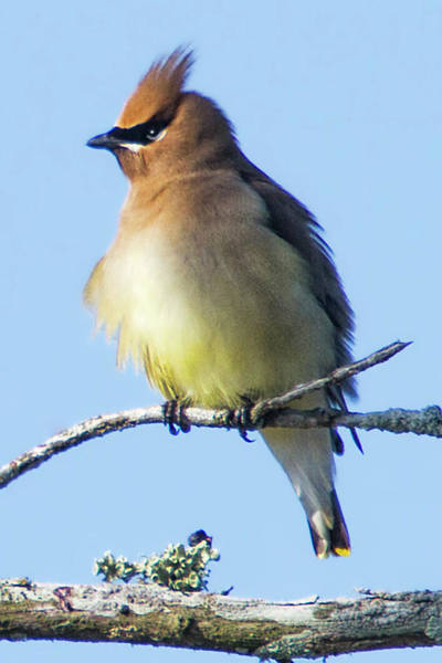 Photograph - Cedar Waxwing by Bob Decker