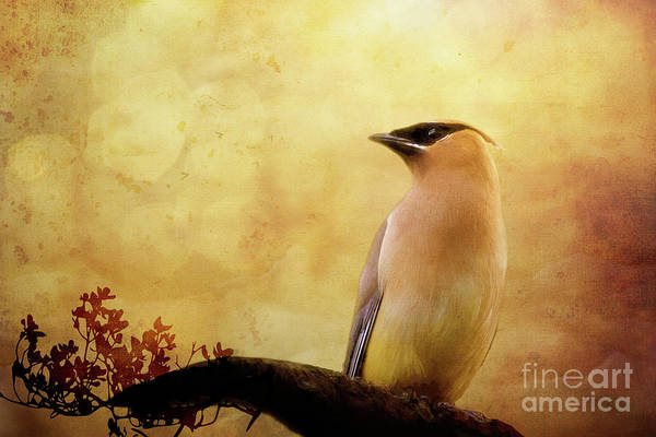 Wall Art - Photograph - Cedar Waxwing by Chantal Proulx