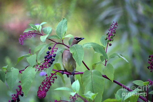 Photograph - Cedar Waxwing In Pokeberry by Karen Adams