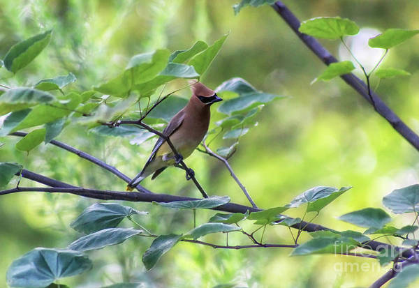 Photograph - Cedar Waxwing In Redbud Tree by Karen Adams