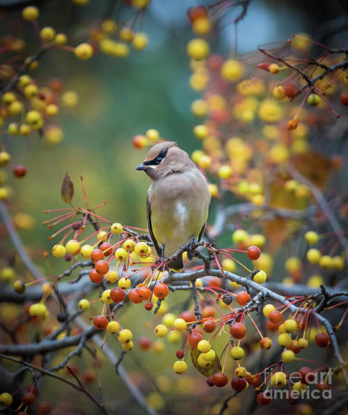 Wall Art - Photograph - Cedar Waxwing by Inge Johnsson