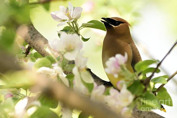 Photograph - Cedar Waxwing by Larry Ricker