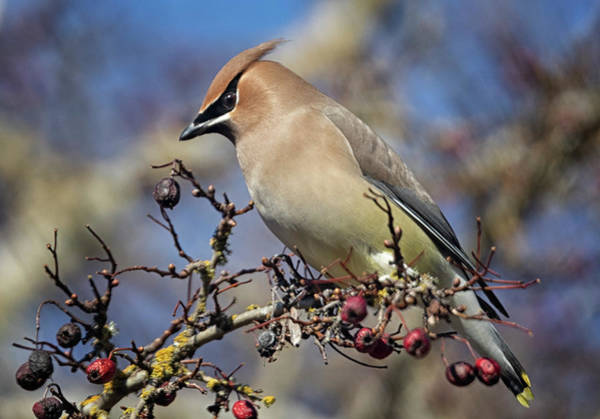 Photograph - Cedar Waxwing by Randy Hall