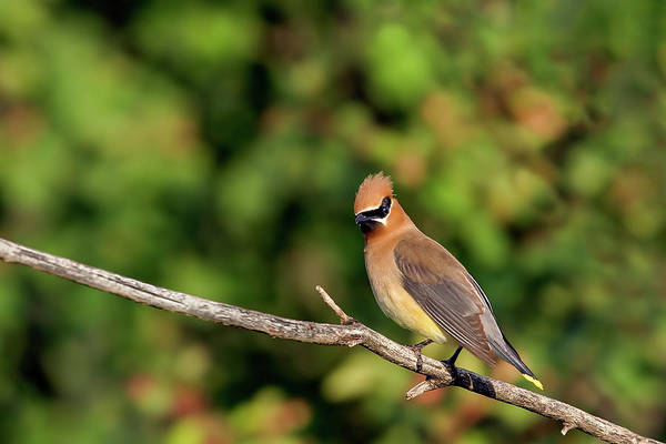 Photograph - Cedar Waxwing by Ronnie and Frances Howard