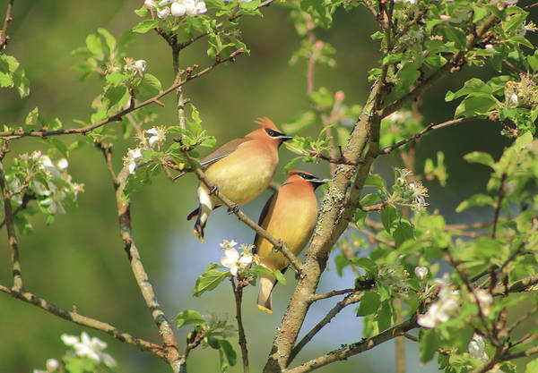 Wall Art - Photograph - Cedar Waxwings In Apple Tree by John Burk