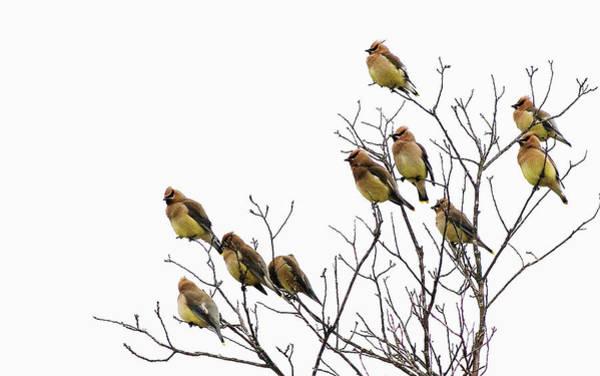 Cedar Tree Photograph - Cedar Waxwings by Julian Humphries