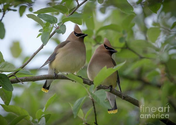 Photograph - Cedar Waxwings by Katie Joya