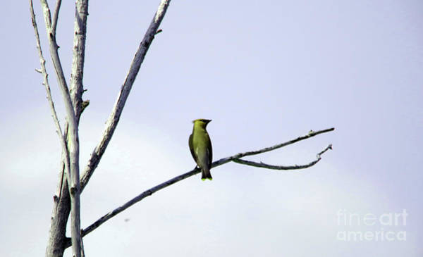 Wall Art - Photograph - Ceder Wax Wing On A Bare Branch by Jeff Swan
